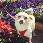 Blonde chihuahua standing in middle of flowers.