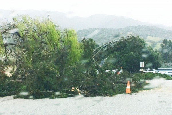 Tree downed by storm winds lies in a street