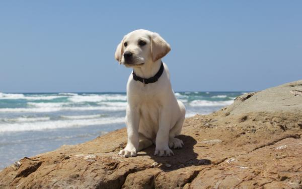 labrador Puppy on rock