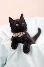 Black kitten with rhinestone collar leaning out of a box