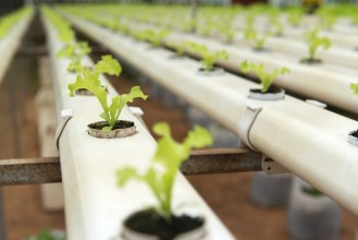 Seedlings growing in hydroponic tubes