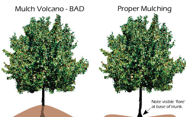 Proper Mulching Diagram Illustrated by Madison Tree Care and Landscaping